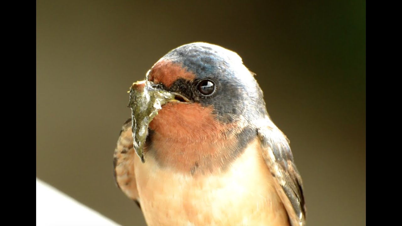 Barn Swallow Nest Building Youtube