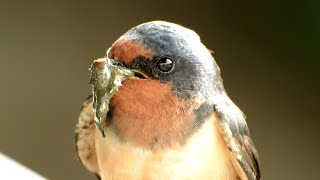 Barn Swallow - Nest Building