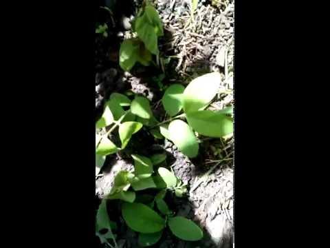 Жимолость съедобная: узнайте секреты выращивания