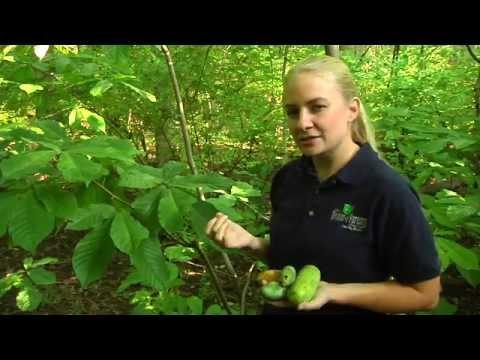 Ohio's Pawpaw Trees