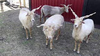 Racka Sheep / Zackelschaf  Summer and winter footage