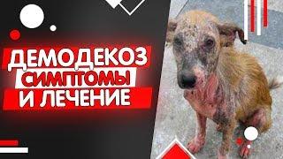 Как выглядит демодекоз у собак? Симптомы, признаки, лечение