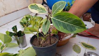 How to Grow Rubber /Banyan Plant by Cutting in Rainy Season    रबर प्लांट को कटिंग से कैसे उगाये
