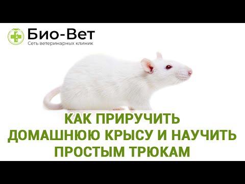 Как приручить домашнюю крысу и научить  простым трюкам
