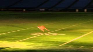 Busch Gardens Cheetahs  run at Tropicana Field stadium in St. Petersburg, Florida