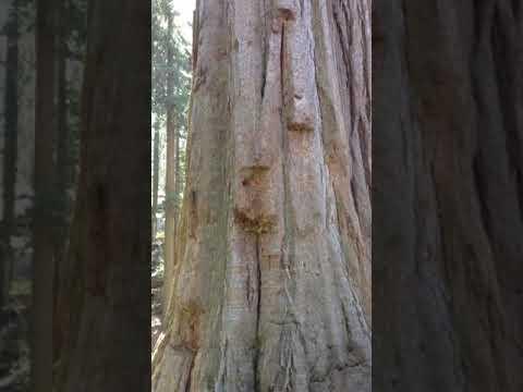 Sequiadendron giganteum Giant Redwood trees in California