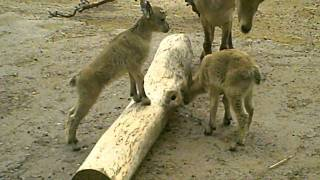 Baby Mountain Goats Battle For Tree Rights