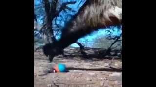 Emu afraid of a toy