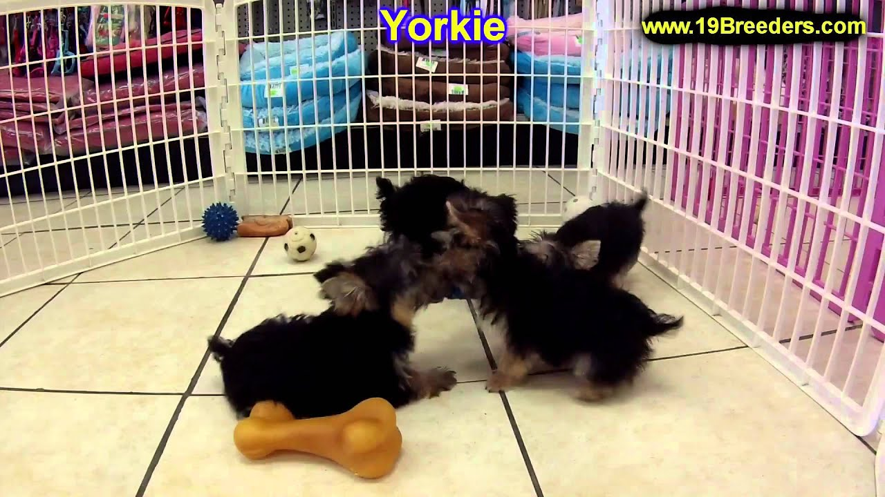 Yorkshire Terrier Puppies For Sale In Newark New Jersey NJ