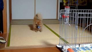 ポメラニアントワ♂2歳です 猫みたいにボールで遊んでいますが犬です.