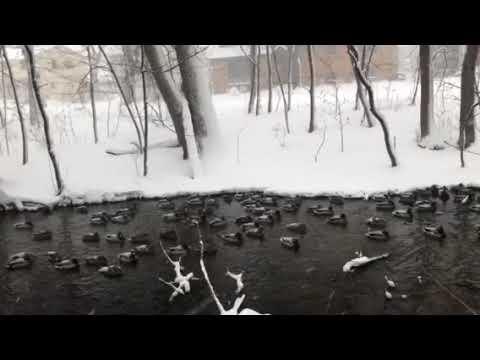 Ducks in the Creek in a Blizzard