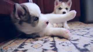 Funny Puppies Husky Video