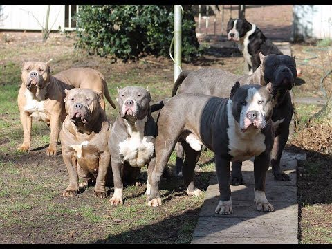 11 big Xxl bully Type Pitbulls eating raw chicken without a fight...