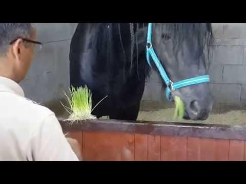 Novatom Taze Yem Makinaları (Hydroponic Fodder Solutions) At (Horse)  2