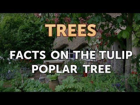 Facts on the Tulip Poplar Tree