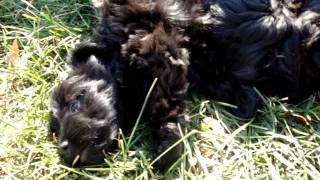 Adorable Havanese Schnoodles! Hypoallergenic, well Socialized (1) 2011