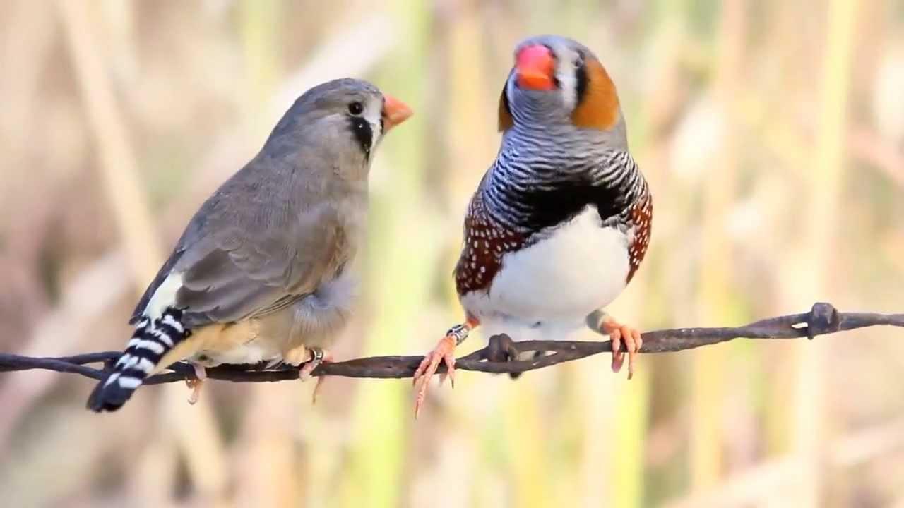 W Finch Leatherhead Gray zebra finch pair ...