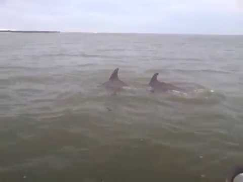 Dolphins Absecon Inlet Labor Day 2016
