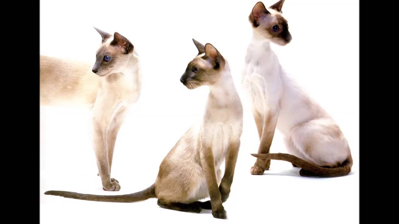 Personality Siamese cat breed