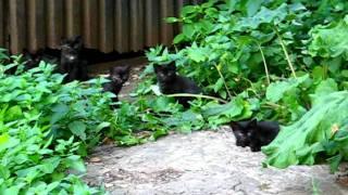 Котята Чернушки