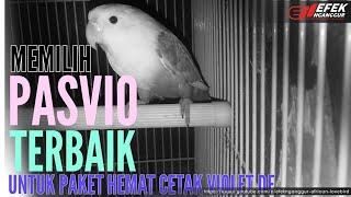 Memilih pasvio/pastel violet untuk paket hemat cetak violet fischeri Ternak lovebird © Efek Nganggur