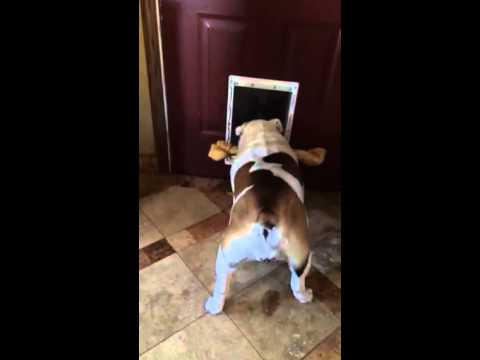 Bulldog can't fit bone through door