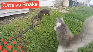 CATS TEAM UP TO ATTACK SNAKE