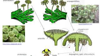 Briófitas (os