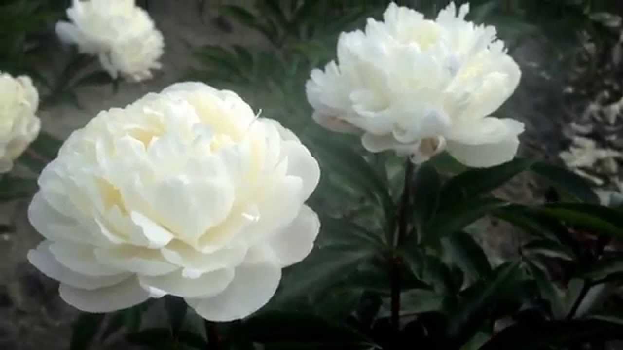 Getting White Peonies For Planting Peony Nursery