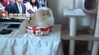 ペルシャ猫のモカちゃんとブリスくんは2歳違いの姉弟です。ブリスくん...
