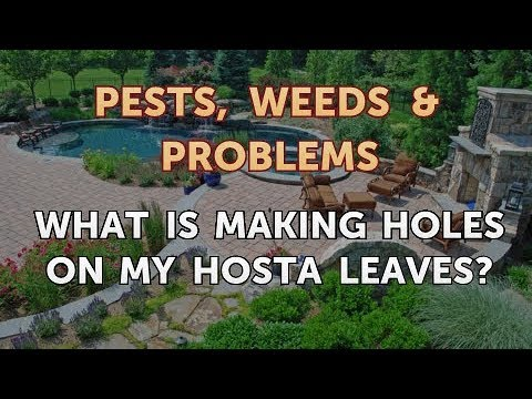 What Is Making Holes On My Hosta Leaves