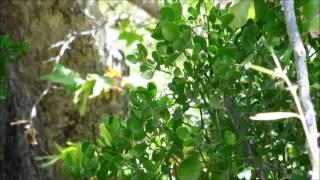Leafy Mistletoe, Phoradendron tomentsoum, San Diego, California
