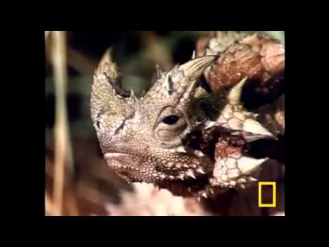 Thorny Devil Science Project