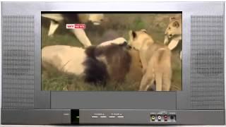Дикие львы принимают мужчину как своего