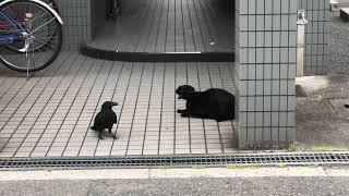 ネコとカラスがケンカしてたよ‼   【黒さ対決】 猫「あたいの方が黒いわ...