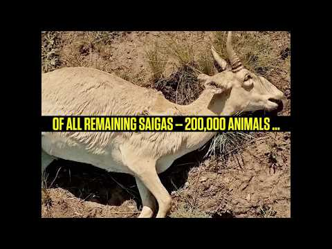 What Killed the Saiga Antelope?
