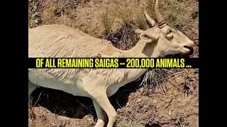 What Killed the Saiga Antelope?