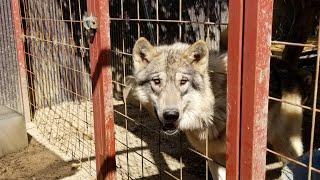 狼犬だらけなモフモフ高密度空間を味わいたい人のための動画 thumbnail