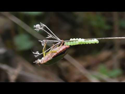 Щитник зелёный древесный. Клоп откладывает яйца. ( Palomena prasina )