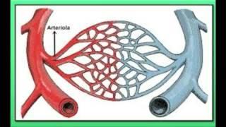 Biología vasos nivelada estructura de sanguíneos los una