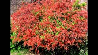 Любимые растения-Айва удлиненная