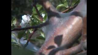 Непарный шелкопряд(Многие вредители живущие в нашем саду - опасны, но шелкопряд непарный один из самых опасных. Подробнее об..., 2012-08-26T13:27:56.000Z)
