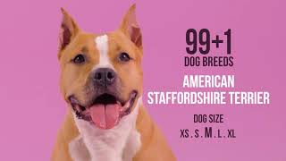 American Staffordshire Terrier / 99+1 Dog Breeds