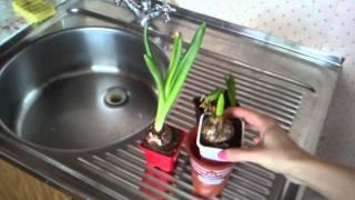 Гиацинт после цветения. Оставлять ли в доме на следующий год. Часть 2