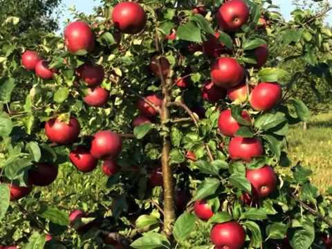ЗИМНЯЯ ЯБЛОНЯ БЕЛОРУССКОЕ СЛАДКОЕ - описание | характеристика | достоинства | белорусское | сладкое | яблоня | яблони | зимний | зимние | яблои | сорта