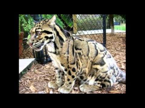 Wild Cats As Pets In Usa