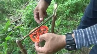 Jebakan burung kutilang umpan buah pepaya