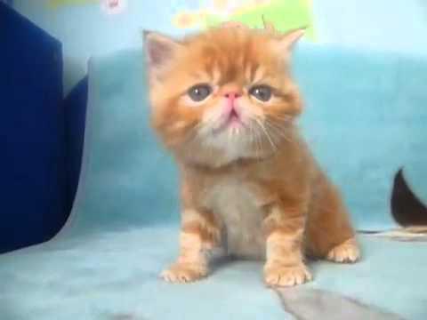 Питомник персидских, экзотических и британских кошек и
