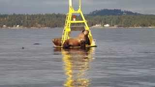 10 Steller Sea Lions 1 Platform