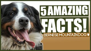 BERNESE MOUNTAIN DOG FACTS! 5 Incredible Facts About The Bernese Mountain Dog!